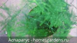 Зеленый перистый аспарагус