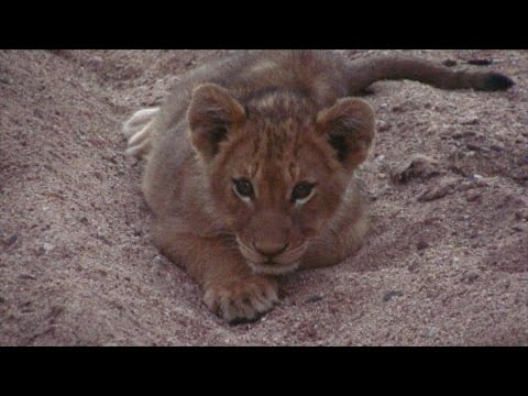 Safari in South Africa: Lion Cub wants to Play