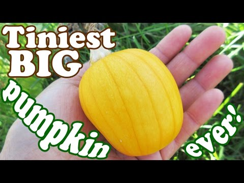 Big Pumpkin Seeds Plant Harvest - Growing Pumpkins For Halloween Carving - Fruit Picking - Jazevox