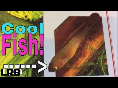 🔴 Breeding Peacock Gudgeon Gobies How To For Aquarium Fish Keeping
