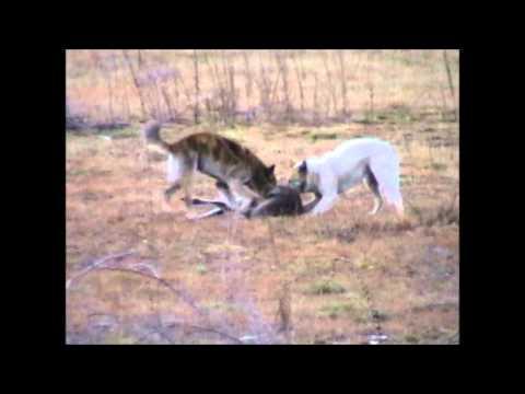 Wild Dogs Hunting Kangaroo