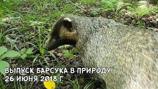 ВЫПУСК БАРСУКА В ПРИРОДУ 26 ИЮНЯ 2018 Г.