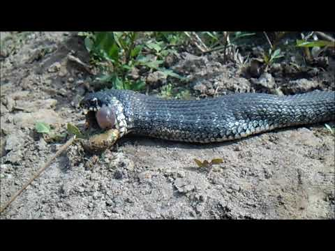 Уж(змея) ест лягушку. Естественный отбор. Река Припять.Чудо природы.