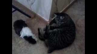 морская свинка vs кот 12.02.2014