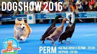 DOG SHOW #1   Выставка собак - Белые Ночи в Перми 2016   Басенджи на выставке  