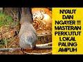 Langsung Nyaut Dan Ngayer Masteran Perkutut Lokal Ampuh Jadikan Kutut Langsung Gacor  Mp3 - Mp4 Download