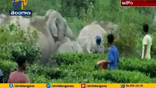 Wild Elephant Trampled Tea Garden | at Assam