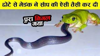 पूरा का पूरा सांप निगल गया ये मेंढक  animal rivals ! animal hate each other ! snake