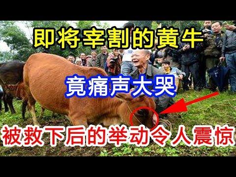 即将被杀的黄牛,竟留下了眼泪?被救下后的举动令人震惊!