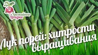 Лук порей: хитрости выращивания #urozhainye_gryadki