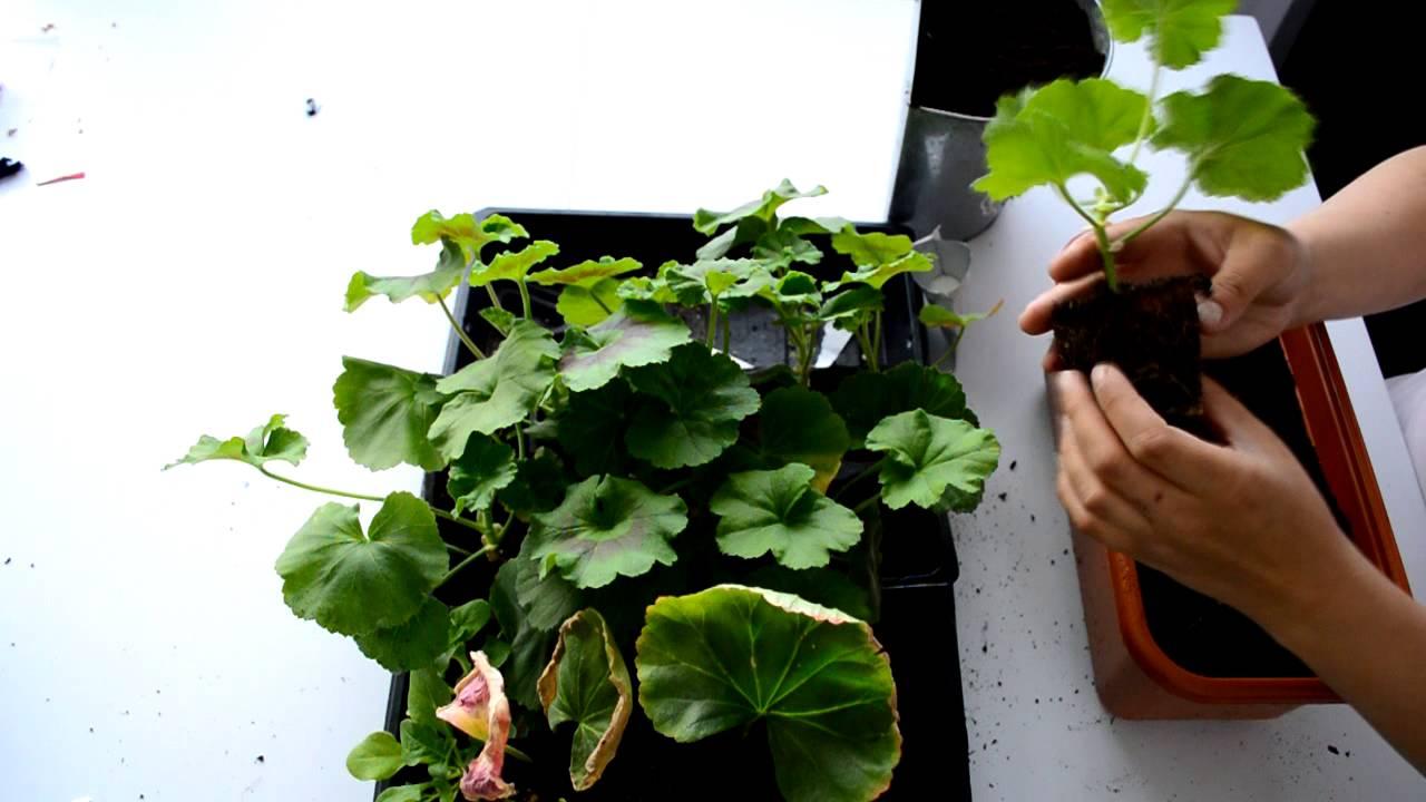 How To Plant Geraniums How To Plant Geranium Cuttings