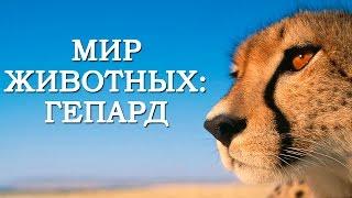 Мир Животных: Гепард