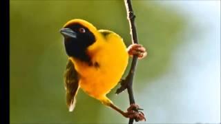 عصفور النساج الحباك العربي Weavers Bird