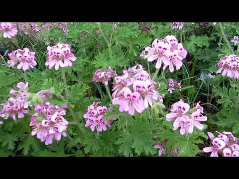 Герань-Пеларгония сильнопахнущая!Pelargonium graveolens.Кирьят-Ям.Kiryat-Yam.Израиль.Israel.