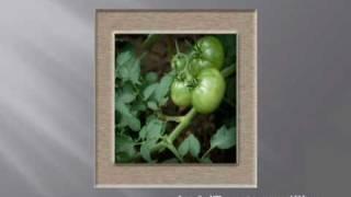 Secrets To Upside Down Tomato Plants