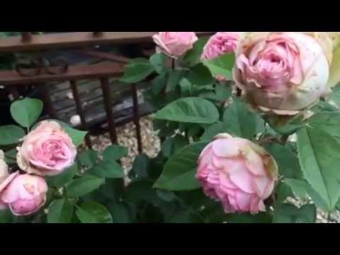 Роза charming piano отзывы