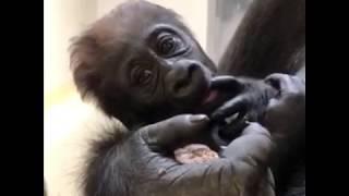 Toronto Zoo Baby Western Lowland Gorilla Charlie