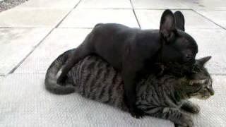 French Bulldog Betty Attacks Gary.mp4