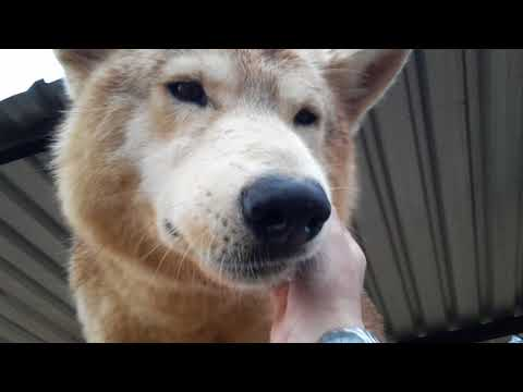 Canadian Wolves Shakira and Nikita so happy to say hello | Cheetah Experience South Africa