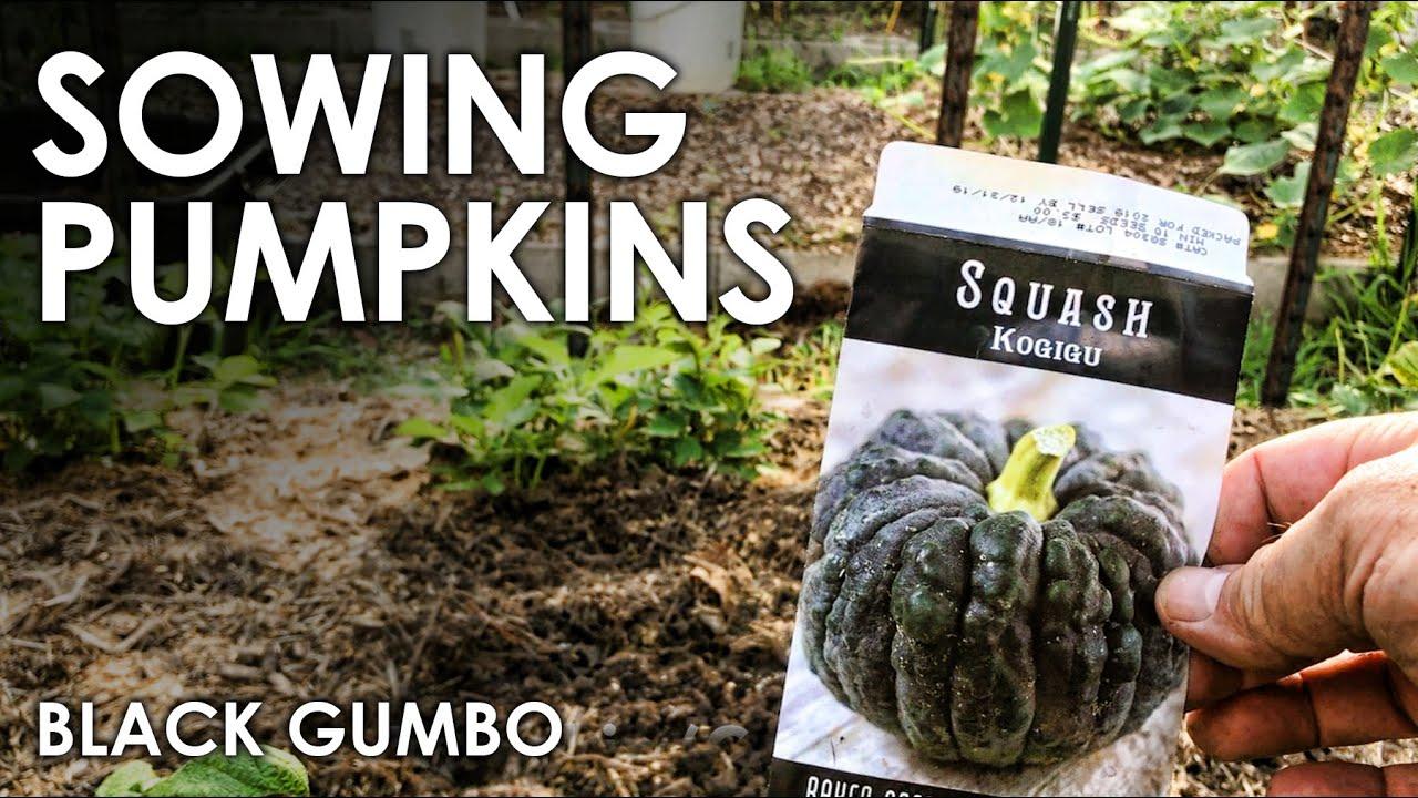 How To Grow Pumpkins || Black Gumbo