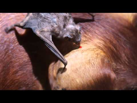 VAMPIRE BAT ~ Bat Sounds and Pictures