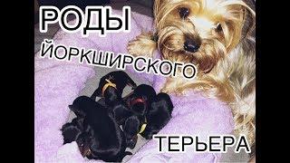 РОДЫ ЙОРКШИРСКОГО ТЕРЬЕРА!