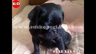 Satılık Pug Yavruları 0532 3438041