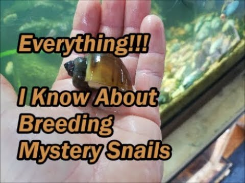 Everything I Know About Breeding Mystery Snails