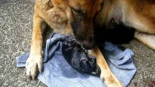"My German Shepherd Dog ""lady"" Giving Birth"