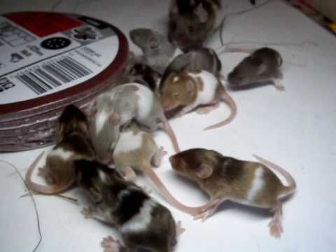 Baby Mäuse