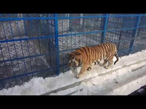 Siberian Tiger Park In Harbin(东北虎林园)