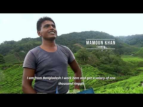 Tea Plantations in Cameron, Malaysia 🇲🇾