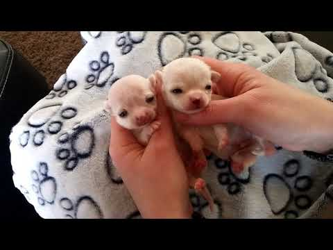 Teacup Chihuahua Puppies Only Ounces Big