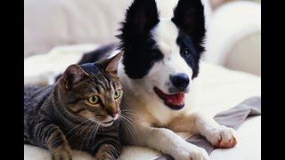 Видео приколы про кошек!Смешные кошки гоняют собак!