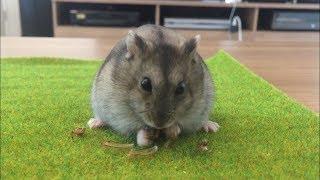My Hamster viciously killing a junebug / maybug idk