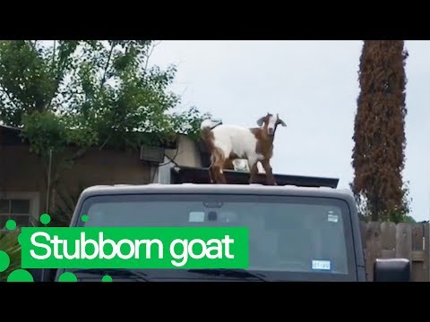 The Woody Show - Adorable Goats Refuse to Get Off Guy's Jeep