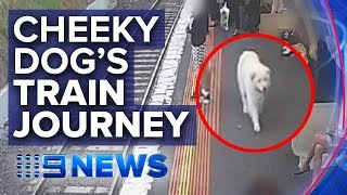 Dog sneaks away from owner and boards train | Nine News Australia