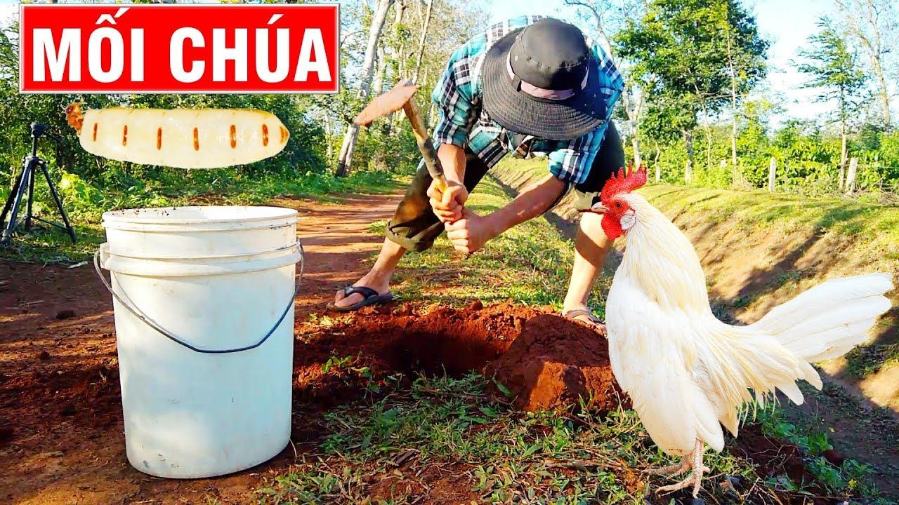 Đi đào mối chúa cho gà ăn (catching termite queen)