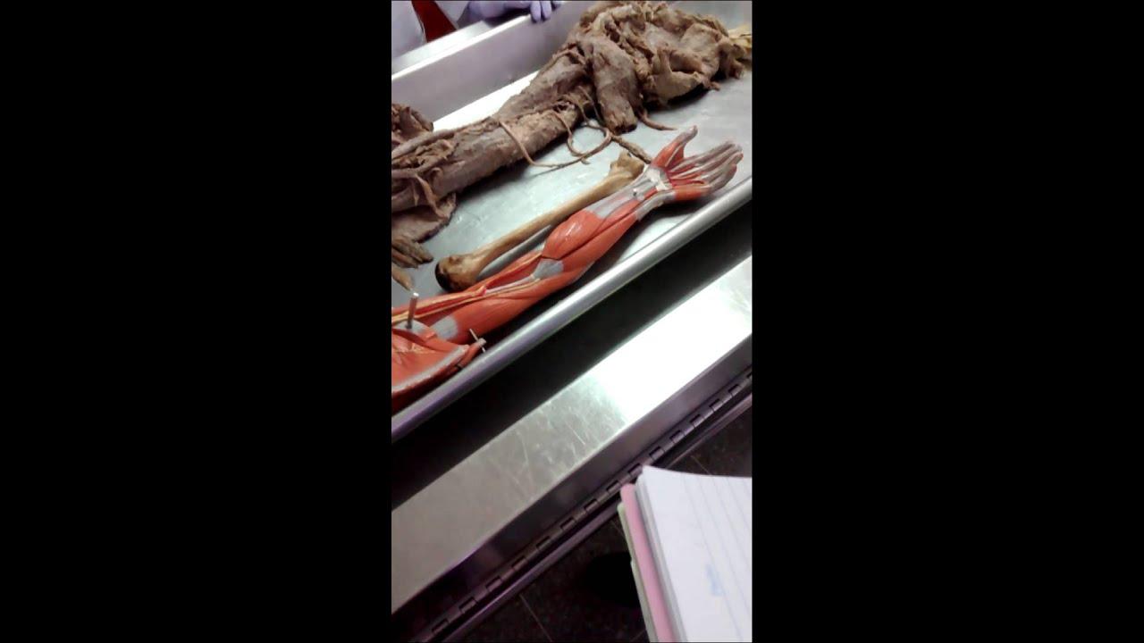 Anatomía Macroscópica(5) - YouTube