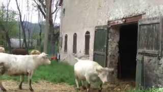 sortie des vaches.mov