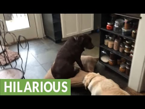 Labrador sitting on pillow gets dragged by buddy