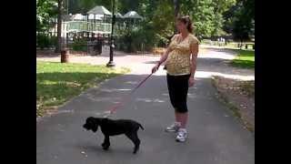 Casey Cocker Spaniel Dog Walk In Prospect Park Brooklyn Ny