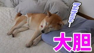 柴犬小春 【枕は私の!】愛犬に寝床を奪われた飼い主