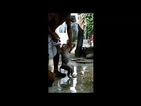 Bikin KAGET !!! Setelah Monyet Ini Dimandikan,sungguh Mengejutkan Pemiliknya Dan Ini Yang Terjadi !!