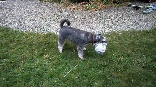 Miniature Schnauzer & Tibetan Terrier (stanley & Cosmo)