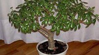 Правильно   сажаем денежное дерево.(Видео о том как правильно посадить денежное дерево-при этом чтоб оно еще и работало на приумножение ваших..., 2014-11-24T08:36:16.000Z)