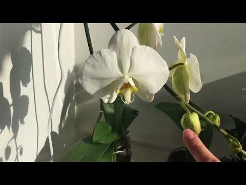 Белая орхидея 👌🏻 замеры роспуска цветочка