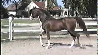 Ohadi Indian Fire from Cantrell Arabians