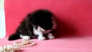 черный персидский котенок