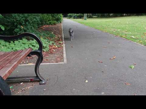 Encountering a Friendly Russian Blue Park Cat